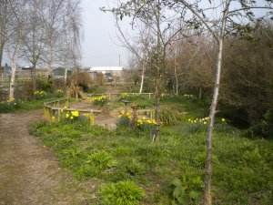 The picture shows the daffodils in the wildlife garden